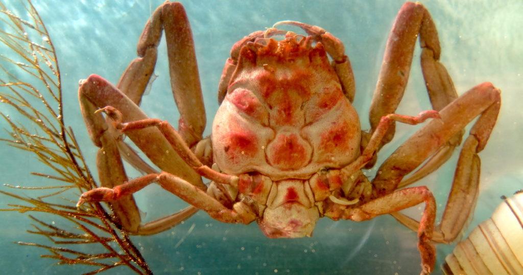 海外で論争を巻き起こした「平家蟹」の宿命